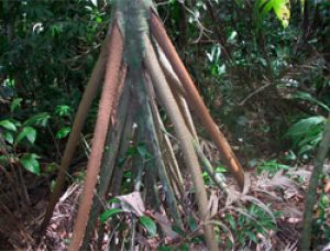 Деревья, которые гуляют сами по себе: необычные представители флоры